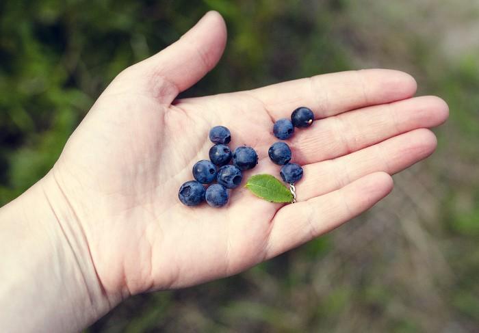 blåbärsplock