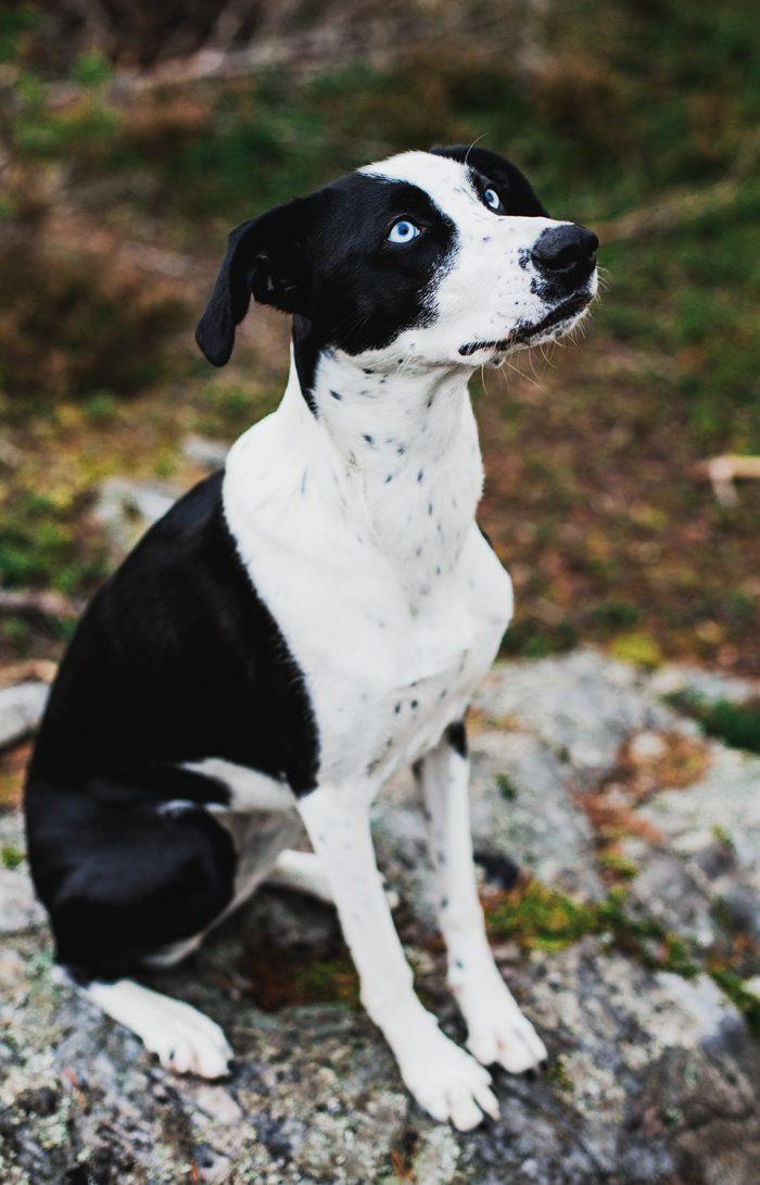 Hunden Elsie (Husky, Vorsteh, Pointer) - Evelinas Ekologiska